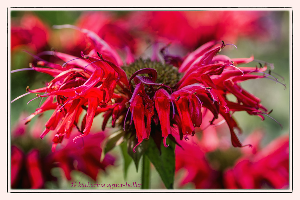 Friday's flower power - die Indianernessel wild und feurig