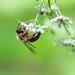 Andrena nigroaenea f