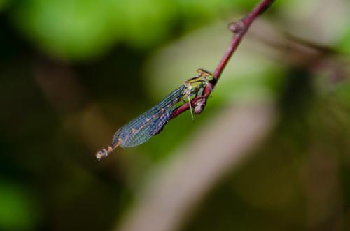 Emerald-species damselfly, Baggeridge Country Park