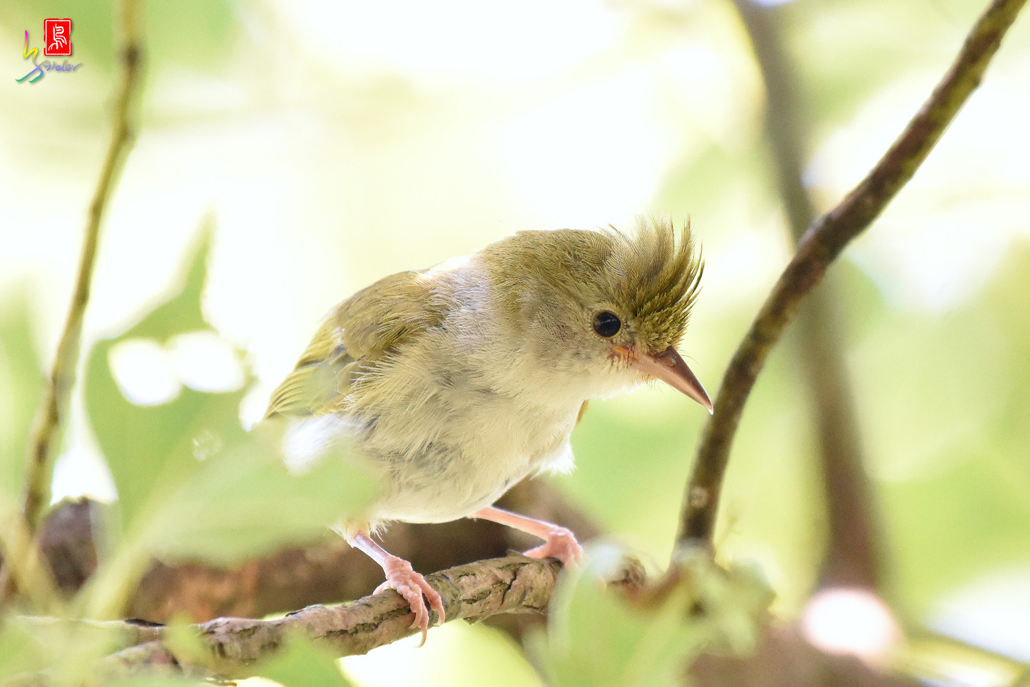 White-bellied_Yuhina_9789