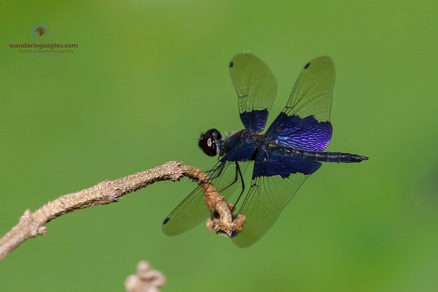 Sapphire Flutterer Dragonfly, Canon EOS 7D MARK II, Canon EF 100-400mm f/4.5-5.6L IS USM