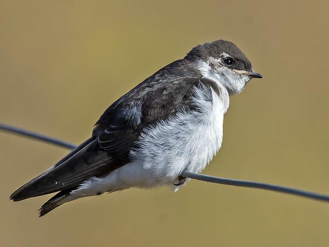 Juvenile Violet-green Swallow, Nikon D7200, AF-S Nikkor 600mm f/4D IF-ED II