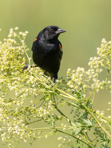 Blakcbird, Red-winged