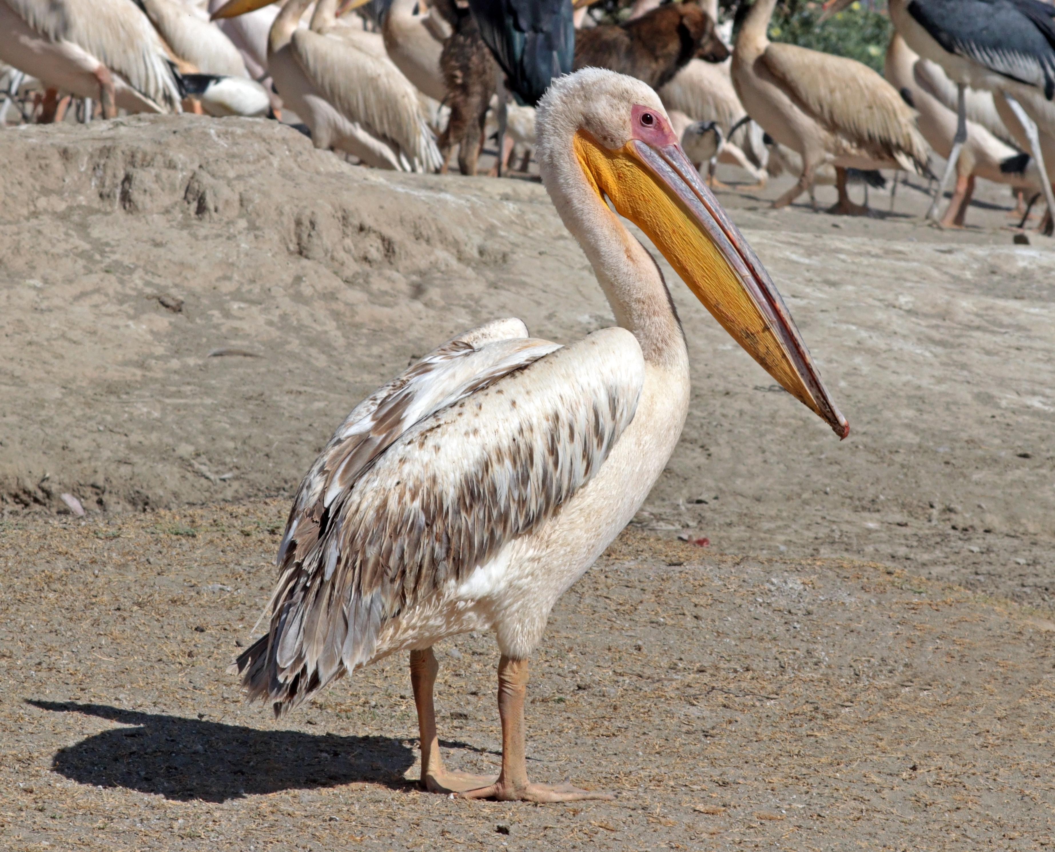 Great white pelican (Pelecanus onocrotalus), Lake Ziway, Ethiopia. Photo taken on December 21, 2017.