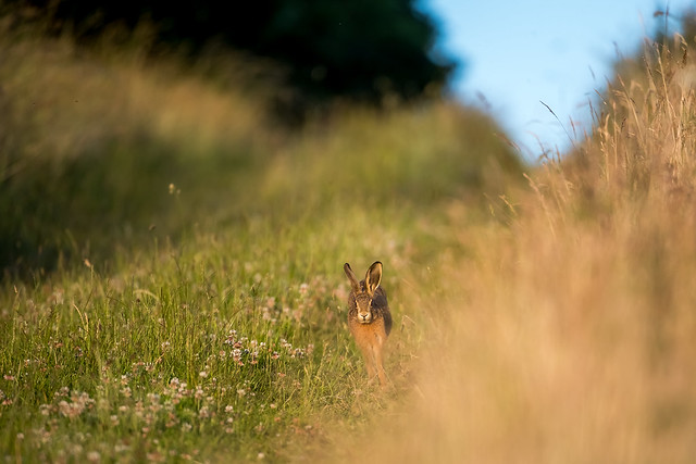 Hare Today-2.jpg