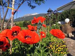 Mohnblumen im Gatterhof Garten Riezlern