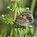 Large Heath (Coenonympha tullia)