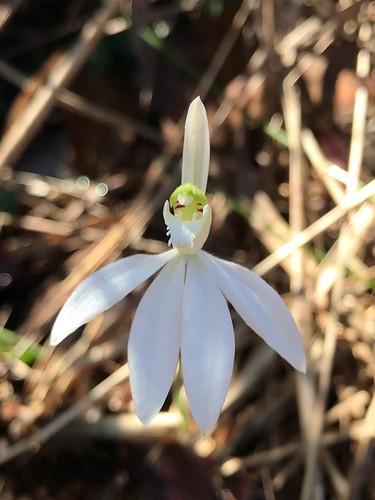 Caladenia alba
