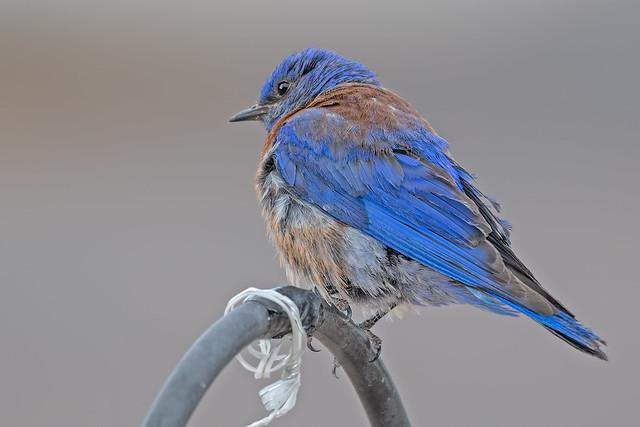 Western-Bluebird-Male-64-7D2-071118