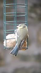 Bluetit fledgling