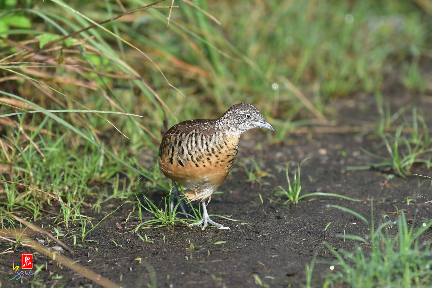 Barred_Buttonquail_3666