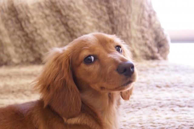 うんちを食べる犬
