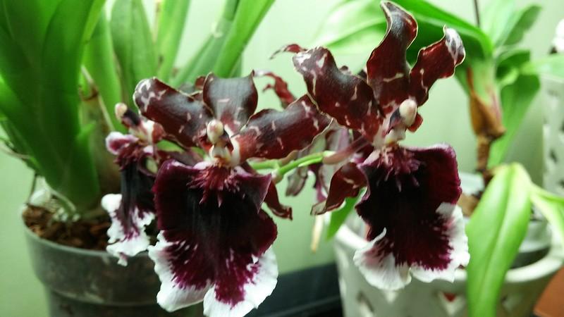 Les orchidées chez Sougriwa - Page 8 41999669765_167541e900_c
