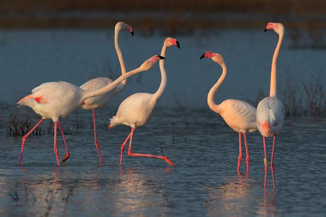 flamingos, Nikon D850, AF-S VR Nikkor 600mm f/4G ED