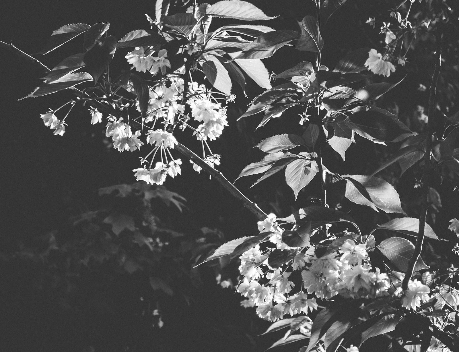 Blossom. theground vintage blossomtree, Nikon D7100, AF-S DX Zoom-Nikkor 17-55mm f/2.8G IF-ED