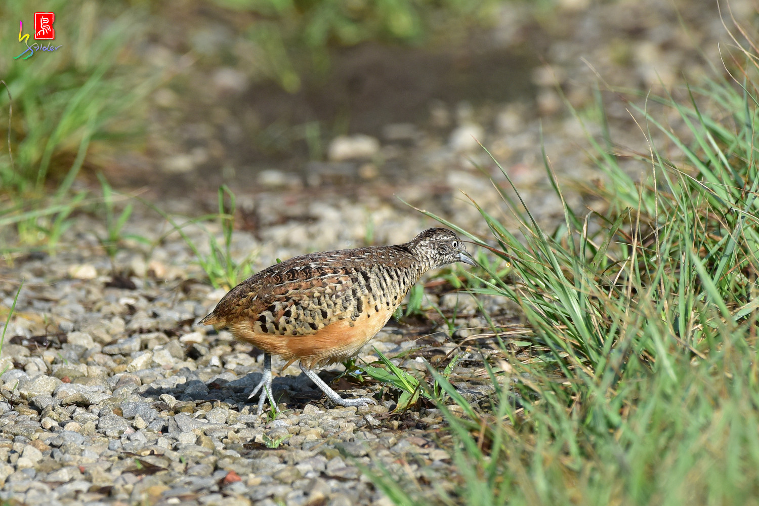 Barred_Buttonquail_3791
