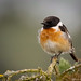 Stonechat_82A5368
