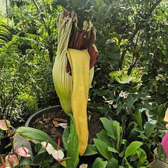 Went to see the big stink at Kew today but it was flagging already. Titan Arum or Corpse Flower, the yellow bit stands up when it briefly blooms. It is really massive and does smell pretty bad but we had to get really close to 'savour' the stench. #flower