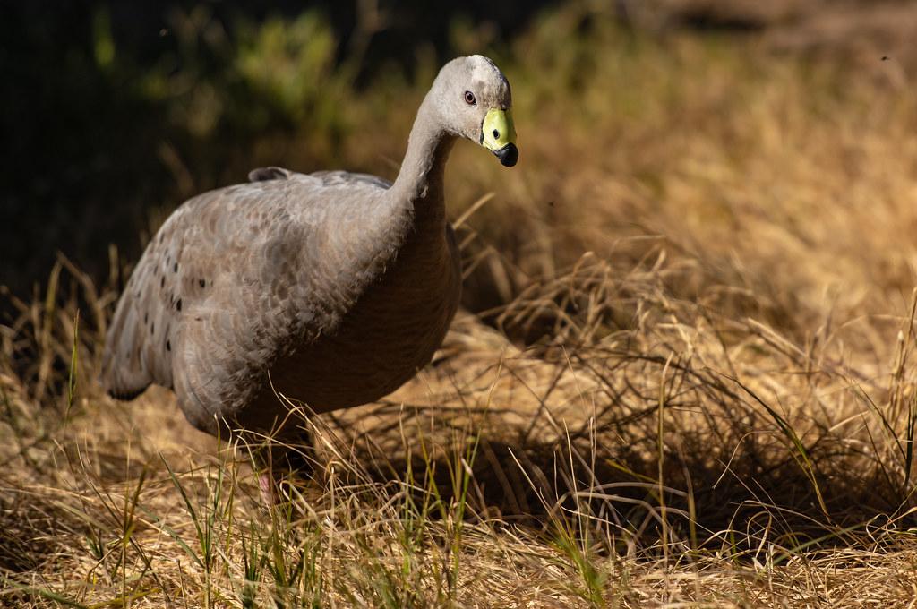 Cape Barren Goose_11