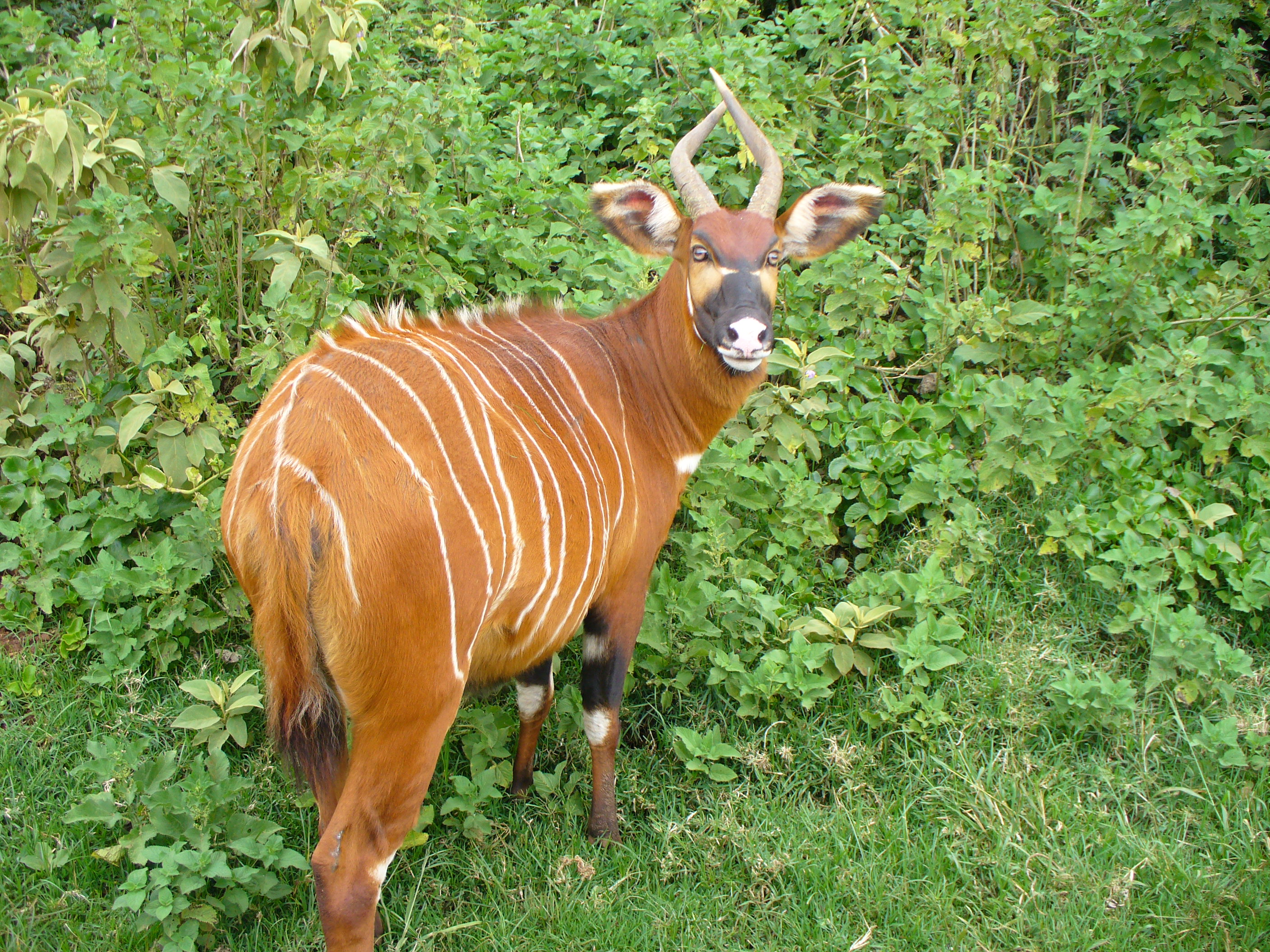 This female eastern bongo (Tragelaphus eurycerus isaaci) presents her hindquarters while looking over her shoulder to check for threats. Pphotographed at Mount Kenya National Park on March 11, 2007.