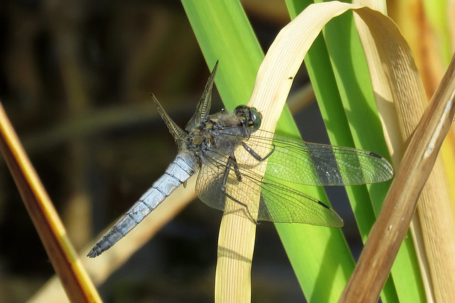 Black-tailed Skimmer - Orthetrum cancellatum