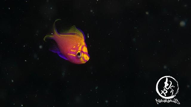 無事に残ってくれてたハナゴンベ幼魚ちゃん♪