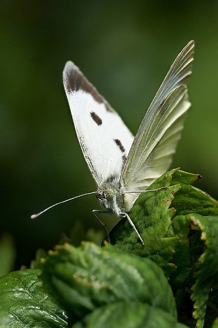Cabbage white butterfly #2