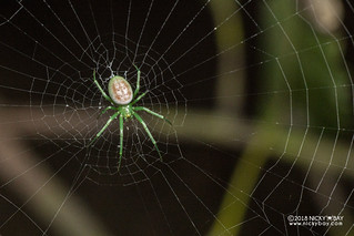 Orb weaver spider (Prasonica nigrotaeniata) - DSC_2562