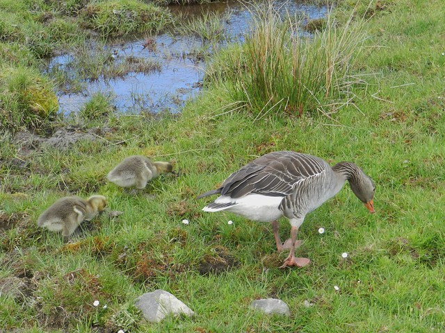 Goose Family, Highland Wildlife Park, Kincraig, May 2018