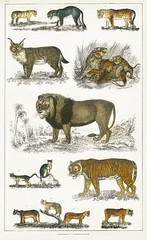 Collection of animals in the feline family from A history of the earth and animated nature (1820) by Oliver Goldsmith (1730-1774). Digitally enhanced from our own original edition.