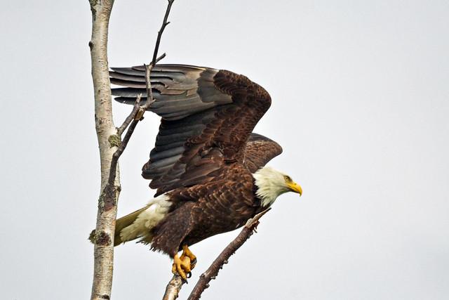 Eagle B