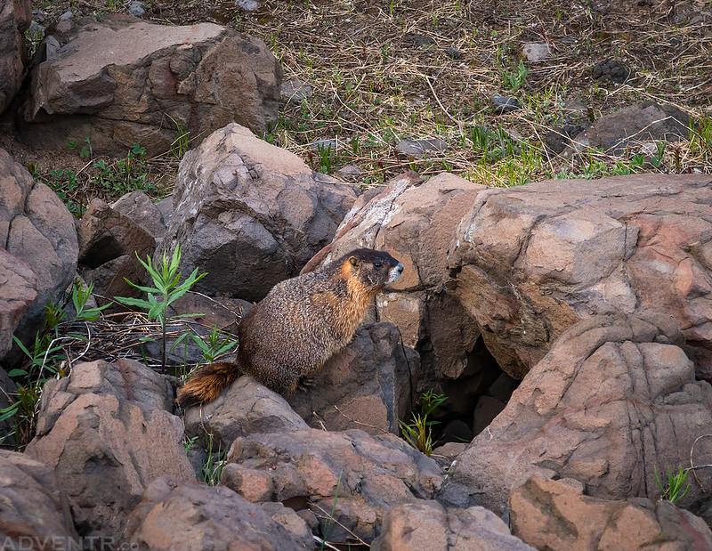 Trailside Marmot