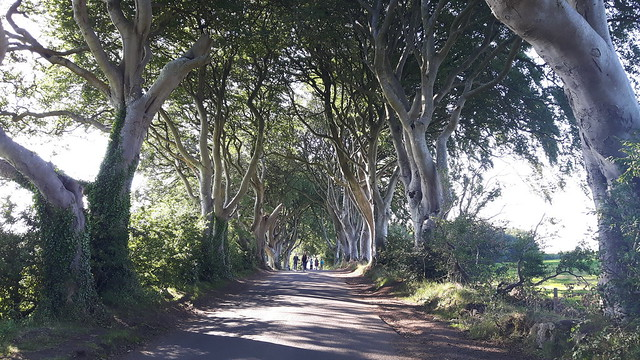 Twisted branches of rows of trees lining both sides of a narrow road called the Dark Hedges in Northern Ireland.
