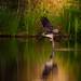 Osprey by Nigey2