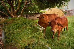 Mother cow and calf on a farm