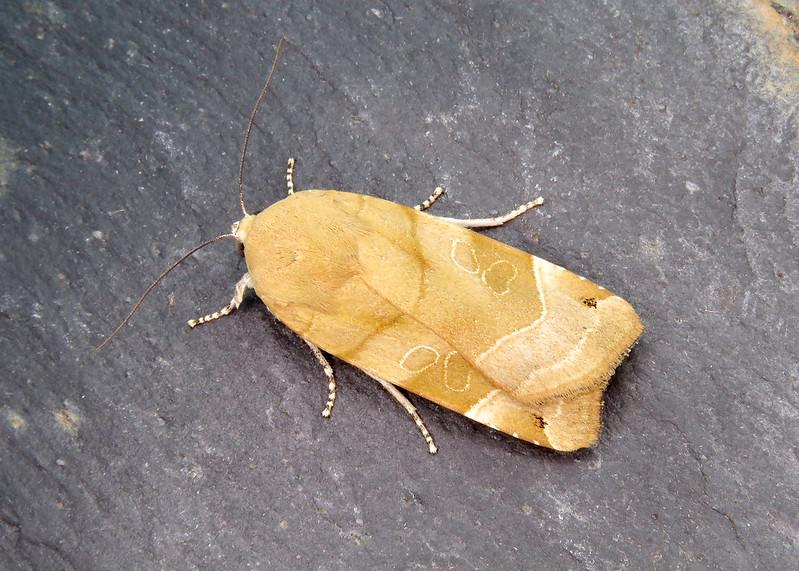 73.343 Broad-bordered Yellow Underwing - Noctua fimbriata