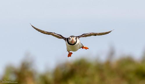 Puffin turbulant landing