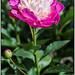 Paeonia lactiflora Gay Paree