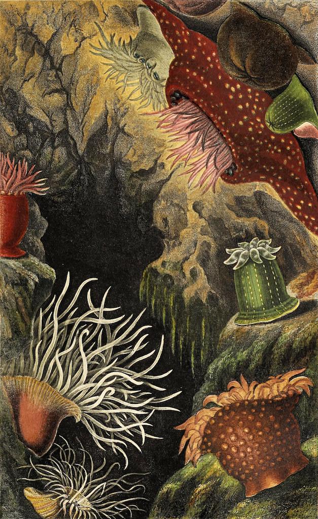 philip henry gosse victorian Sea-Anemones