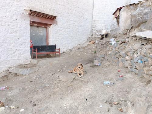 西藏小狗狗