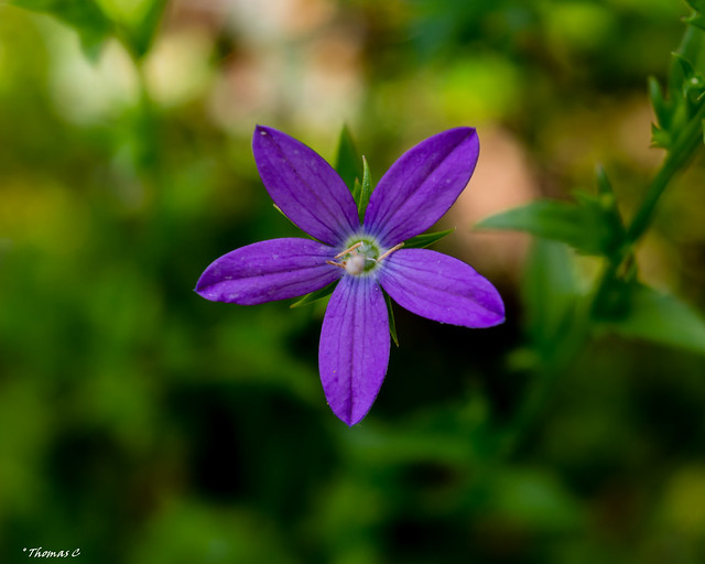 Five Purple Petals