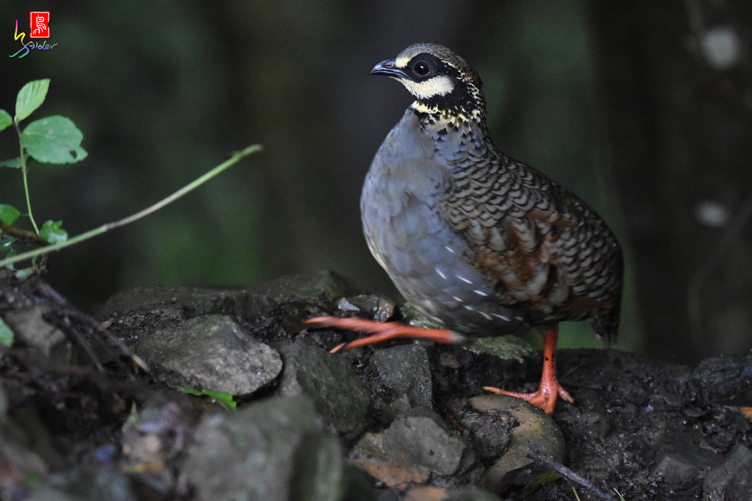 Taiwan_Hill_Partridge_7048