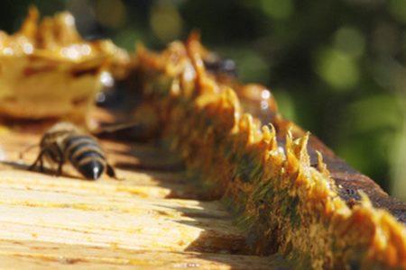 Propolis madu dan lebah