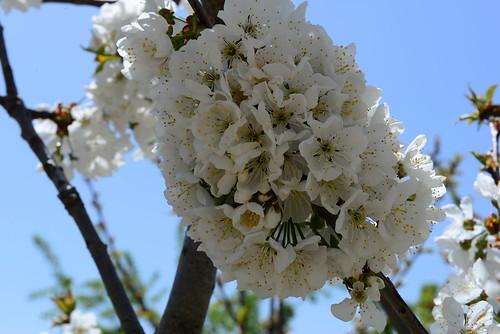 DAV_0681 Cerezos en flor