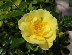 rosier arbustif jaune, mai 2018