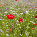 Wildflowers at RHS Garden Harlow Carr