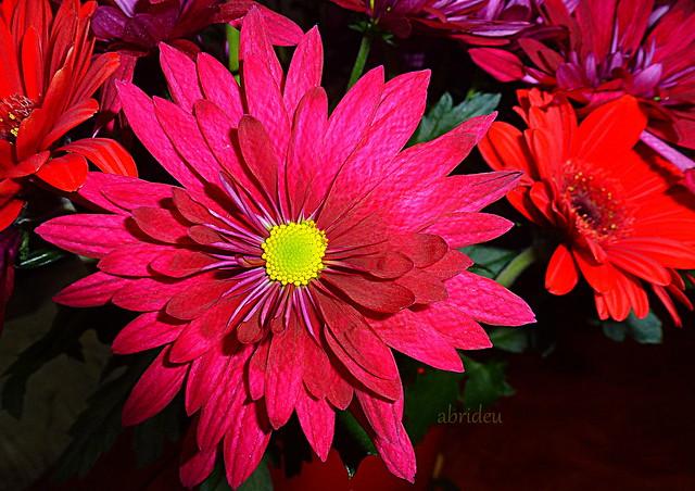 Chrysanthemum & Gerbera