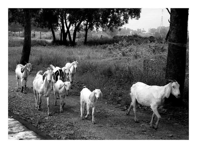 The Goats, Fujifilm FinePix JX520