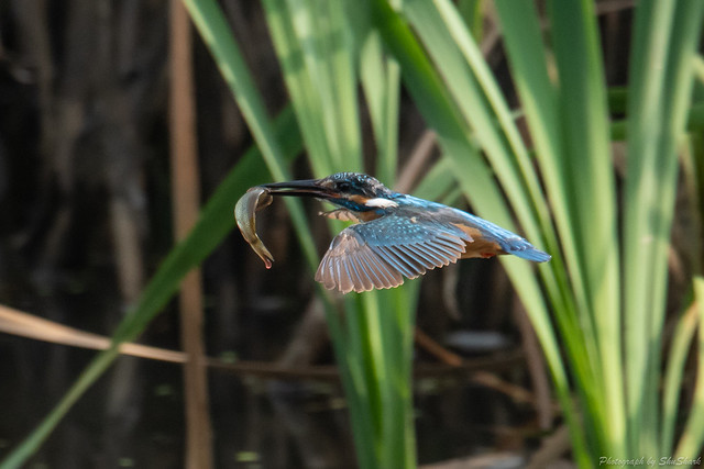 20180716-kingfisher-DSC_6959