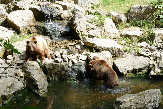 18-Europäischer Braunbär